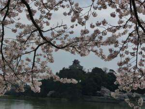 Inuyama castle sakura